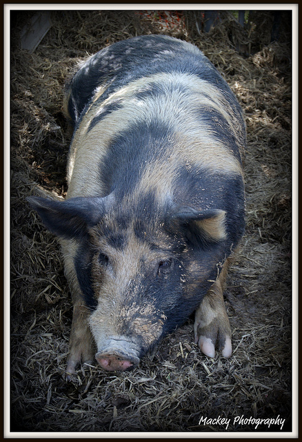 Mackey Photography, Hog, Photo by Tanya Jo