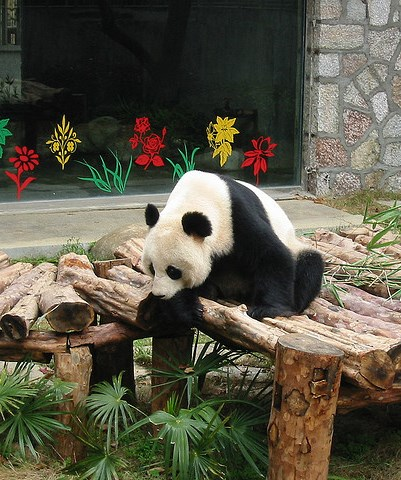 Baby Panda, Seven Star Park in Guilin, Photo by Bageltam