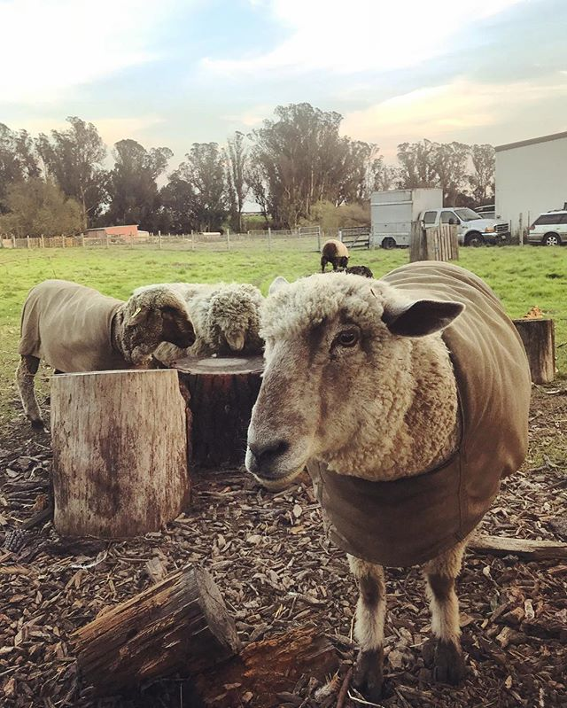 We picked up a plethora of beautiful farm goods from @wildoathollow for our dinner on Saturday night... and of course had to say hi to our woolly friends! . . . #farmtotable #carbonfarming #carbonneutral #fibershed #organic #local #sustainable #farmtofork #berkeley #womeninbiz #womenfarmers