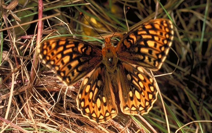 San Bruno Mountain   Endangered Butterflies
