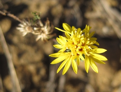 San Francisco Lessingia ( Lessingia germanorum)