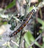 Genista Broom Moth caterpillar defoliating French Broom   photo: Sutro Stewards
