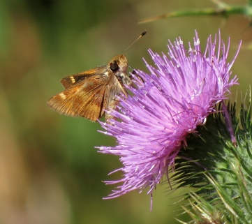 Umber Skipper on Bull Thistle