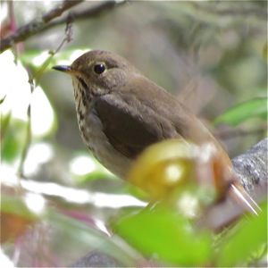 Hermit Thrush - Winter visitor