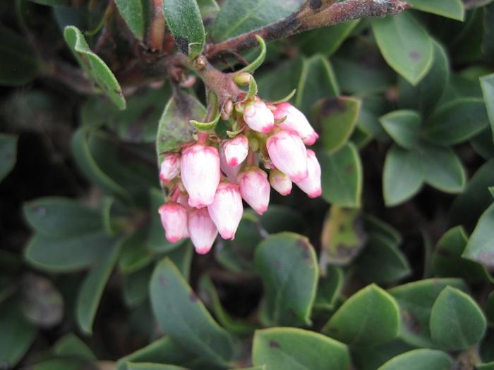 Bearberry Manzanita - Arctostaphylos uva-ursi