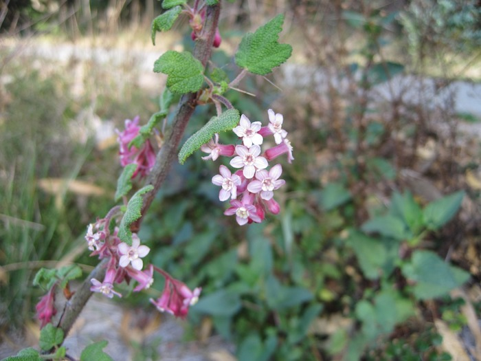 Chaparral Currant - Ribes malvaceum