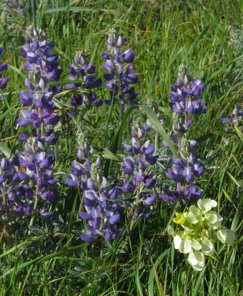 Silver Lupine & San Francisco Wallflower - 2016