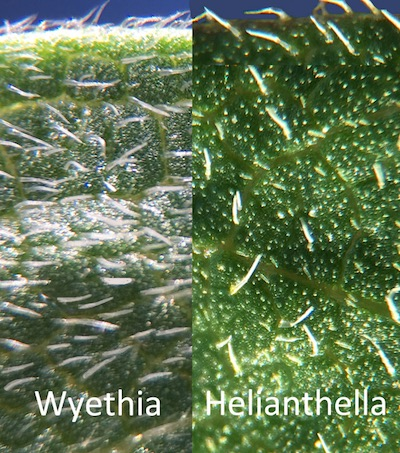 Comparison of the hairs (actually, cilia) on the leaves. The difference is easy to feel as well as easy to see with a 10X loupe. The photo might be about 30X.
