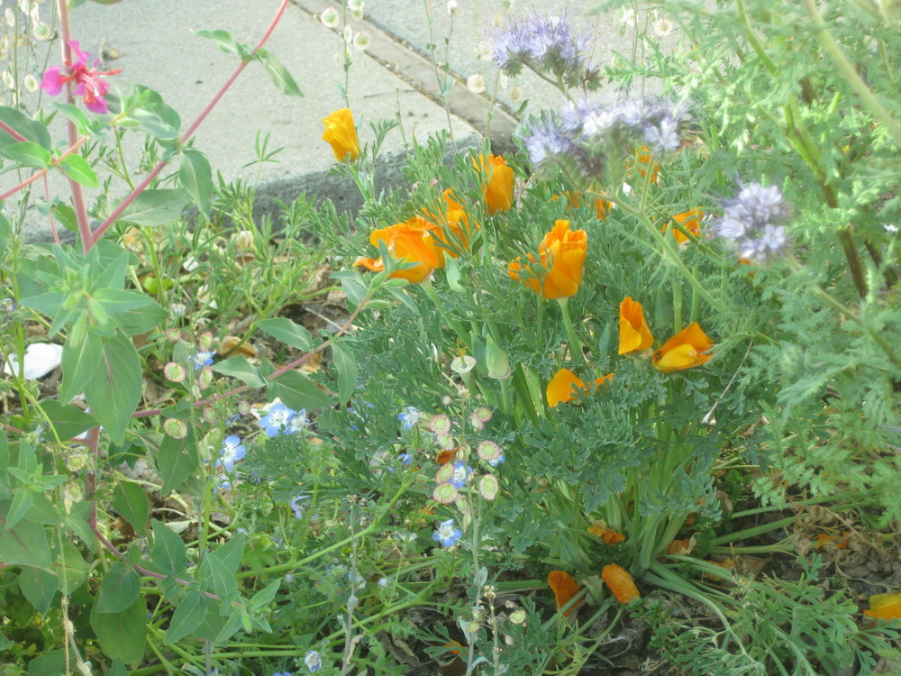 California poppies, phacelia, clarkia