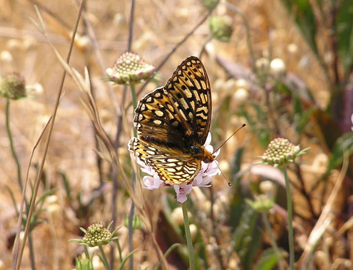 Callippe Silverspot (Premier Sponsor) - $1,000 Acknowledgement as Premier Sponsor on San Bruno Mountain Watch website and emails; 3 Facebook posts thanking your business; On-site promotional products from your business at the event; 7 tickets to the event; Public thank you at the event
