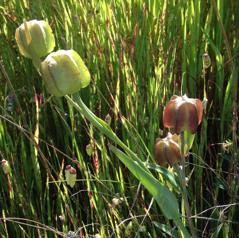 Maturing seed pods of Mission Bells - Fritillaria affinis