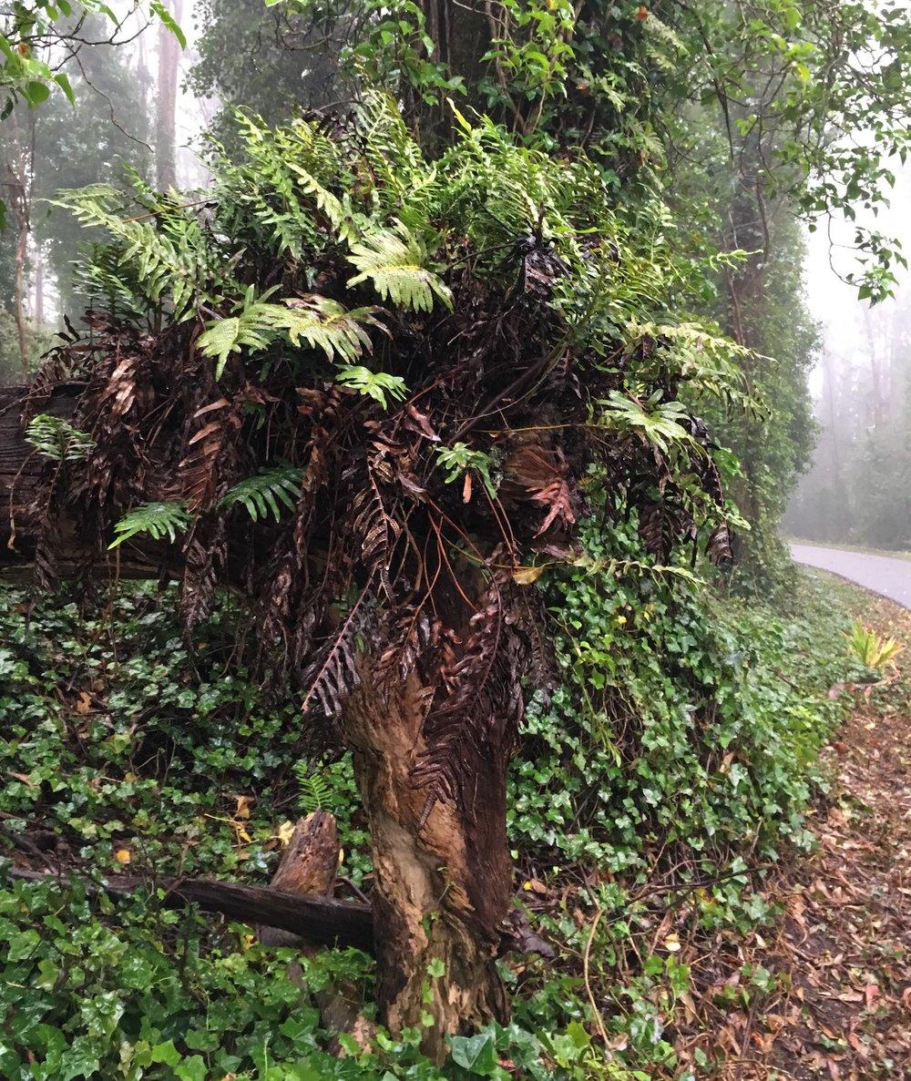 Leather fern epiphyte on eucalyptus host