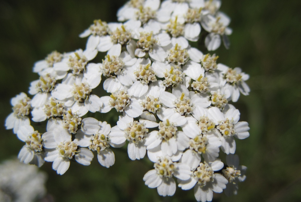 Common Yarrow