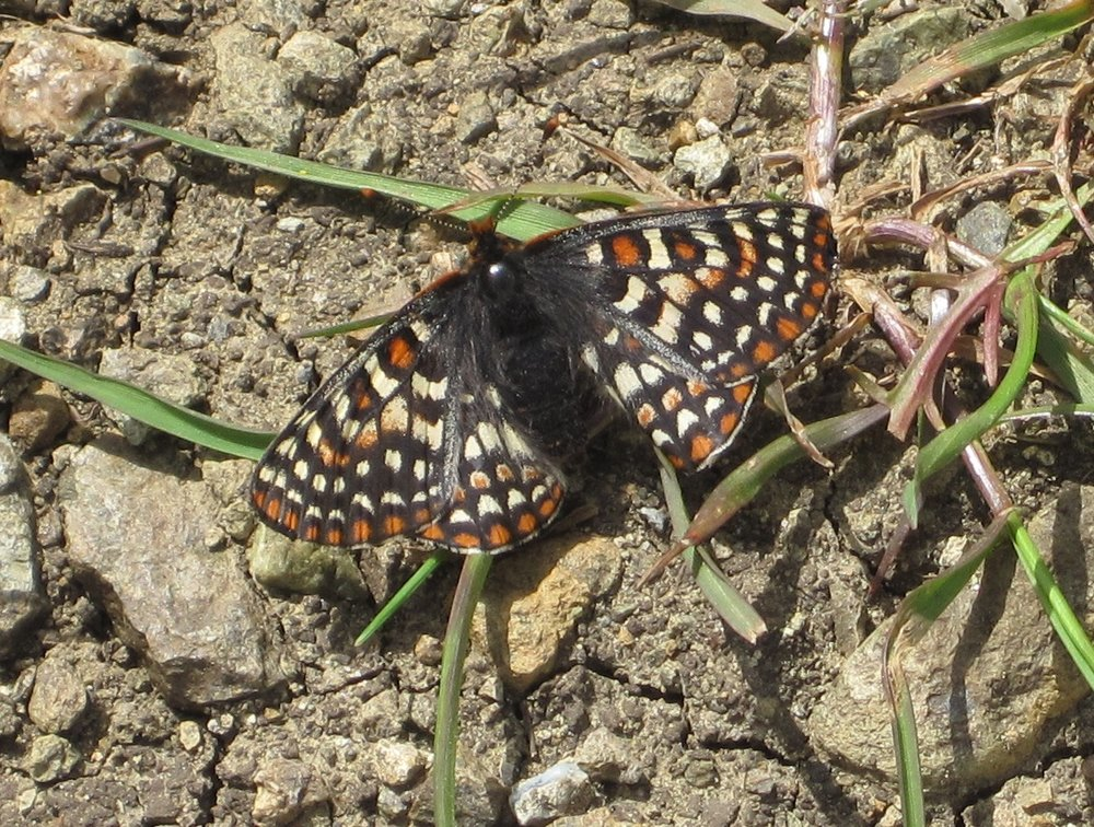 Bay Checkerspot - Coyote Ridge ©Alane Gray 2011