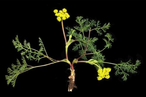 Lomatium utriculatum  - bladder parsnip