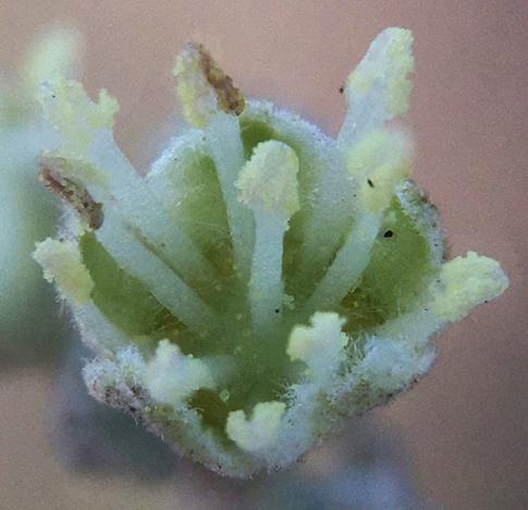 staminate flower
