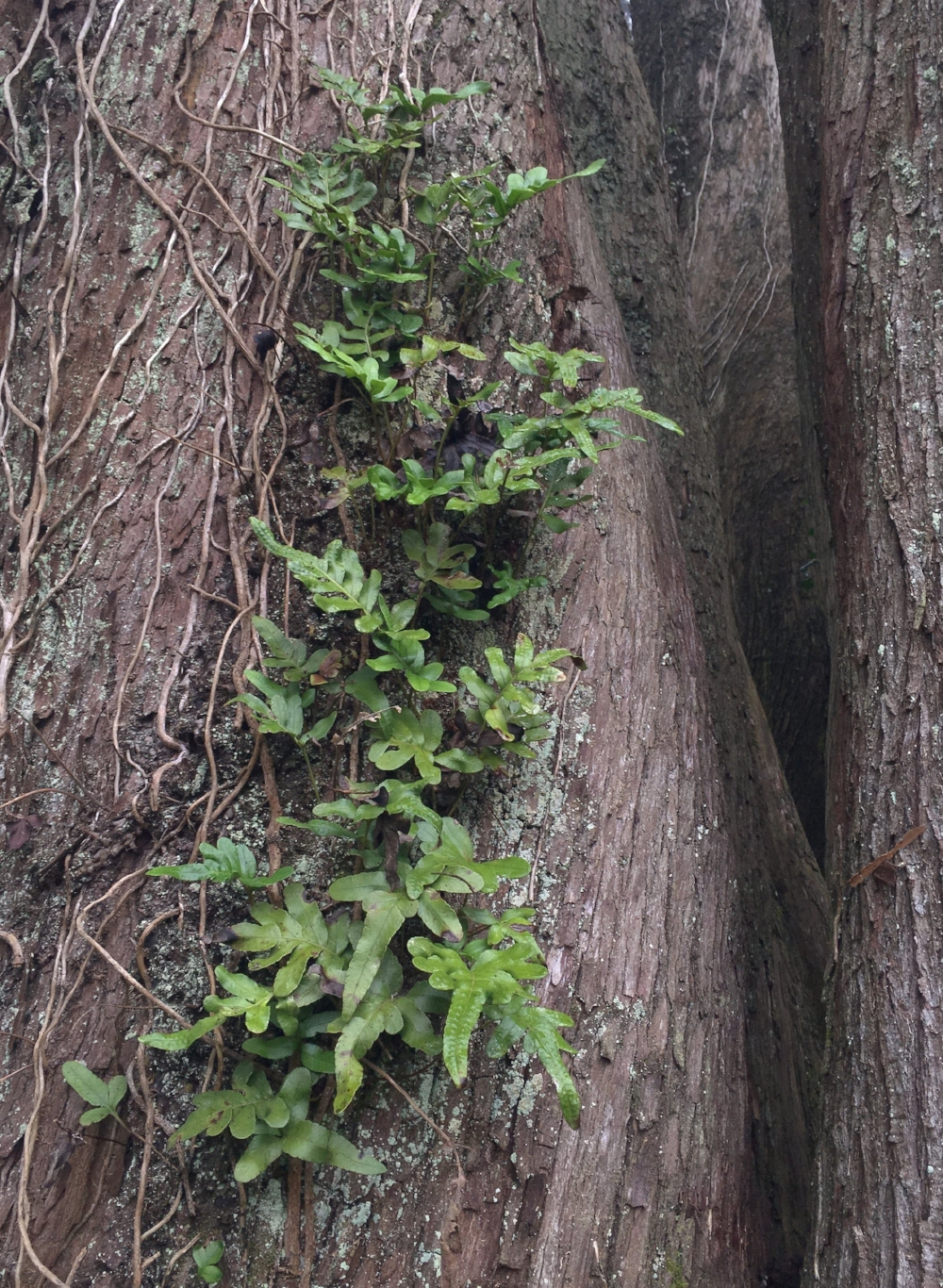 epiphytic leather fern