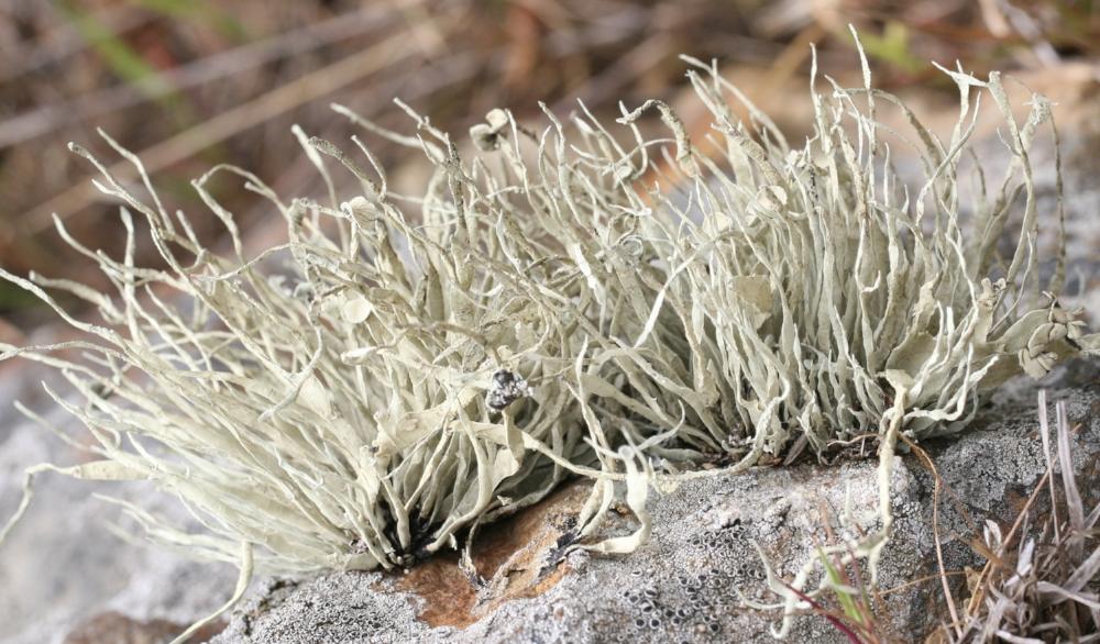 Niebla  lichen