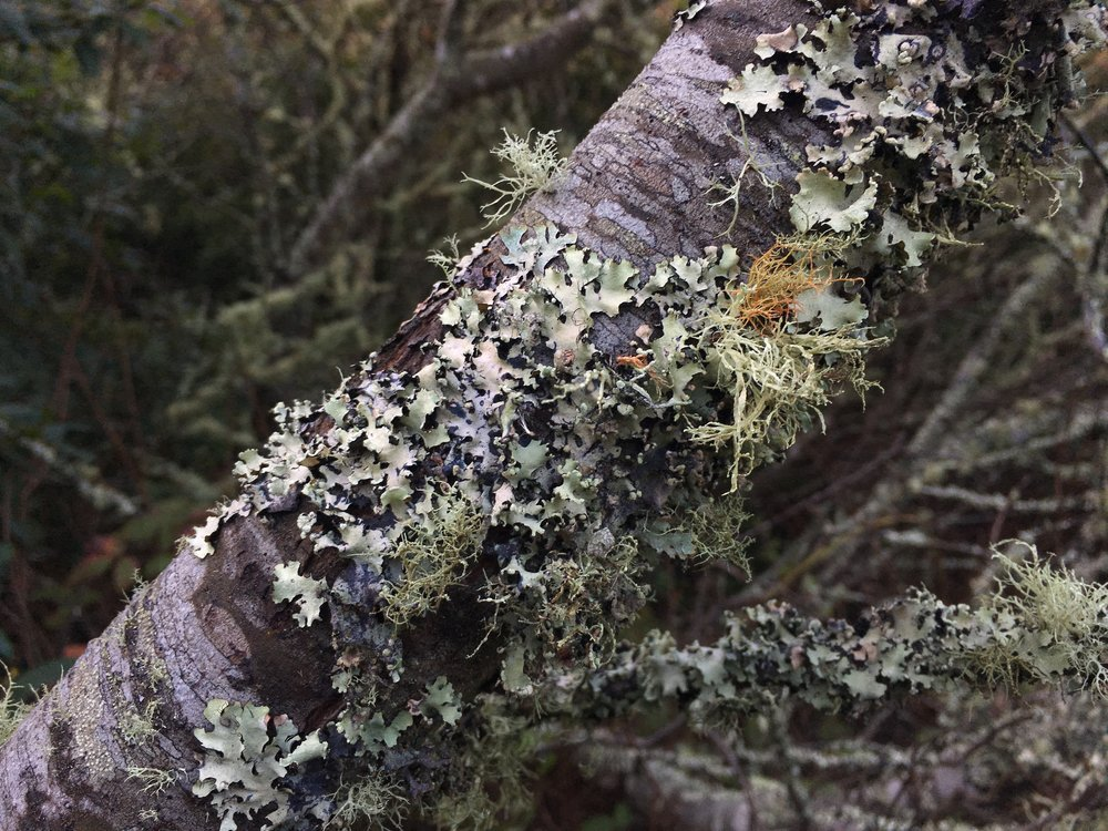 lichen - a symbiotic relationship between fungus and algae