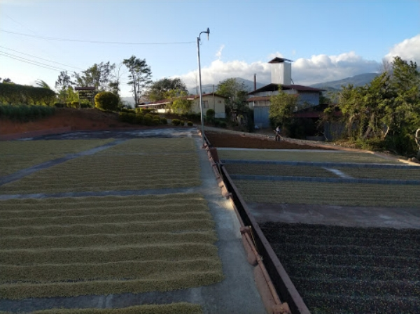 Every section of patio represents a different lot at La Lia Mill. Lighter colored lots are washed process beans. Darker lots are various iterations of honey processing, from white honey through to red or even black honey, indicating the amount of fruit mucilage the farmer has left on the bean before drying it.
