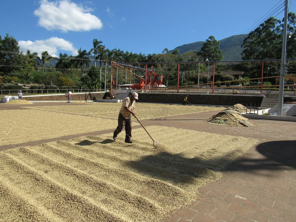 Local workers spread parchment coffee on clay patios under the El Salvador sun. Most of these workers return year after year to work for Don Miguel, because he pays so much better than all the other farms around.