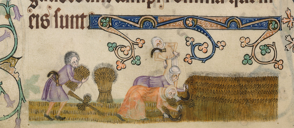 Harvesting with tunics. Detail from British Library Add MS 42130, the Luttrell Psalter, f.172v. From the British Library digitised manuscripts collection.