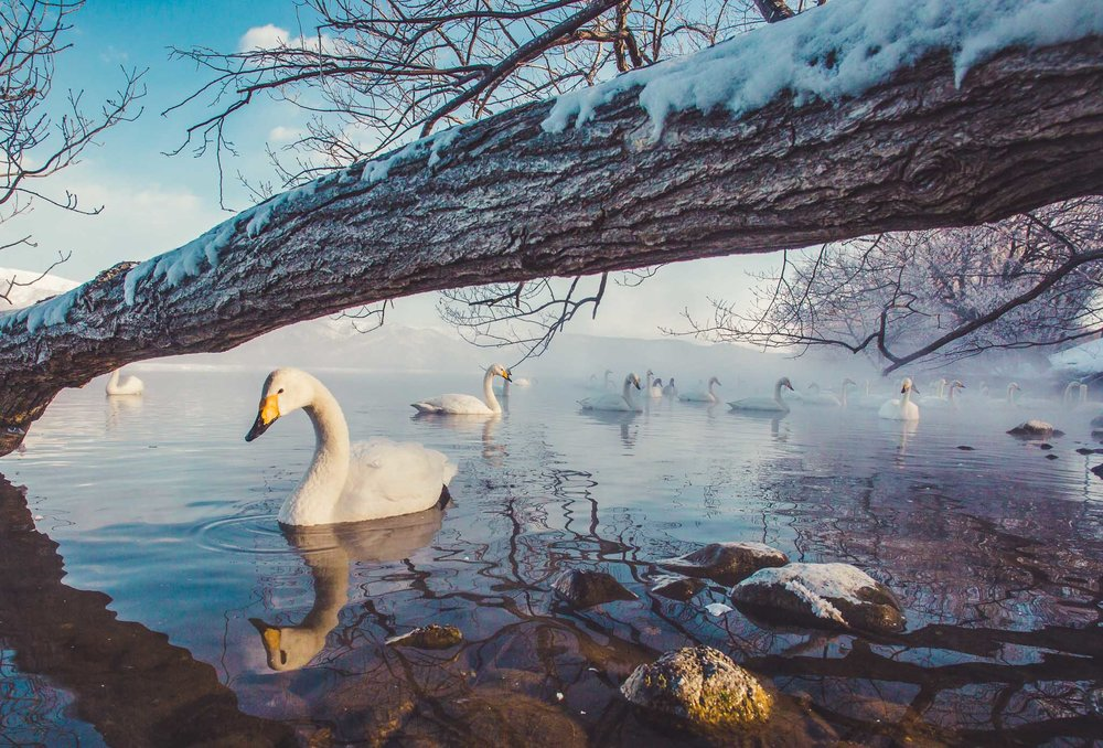 Frozen Lake Kusharo and Whopper Swans
