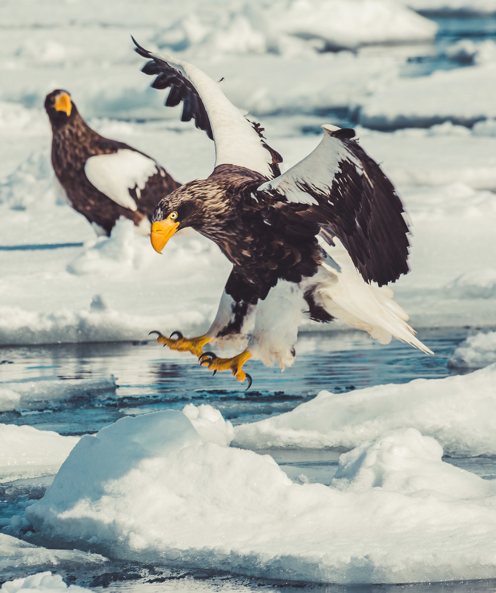 Sea Eagles (92 of 94).jpg
