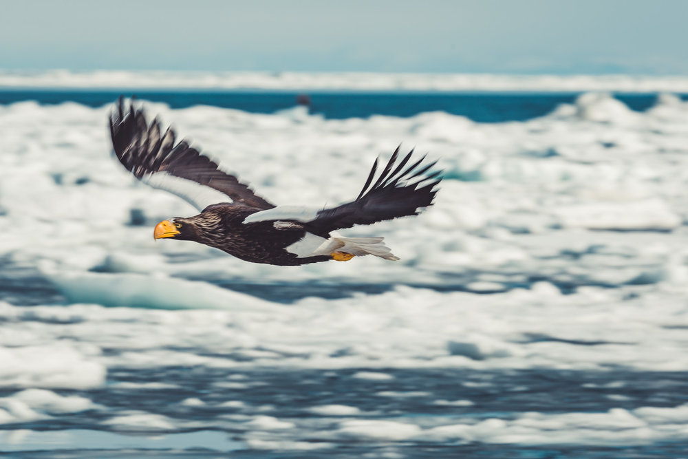 Sea Eagles (20 of 45).jpg