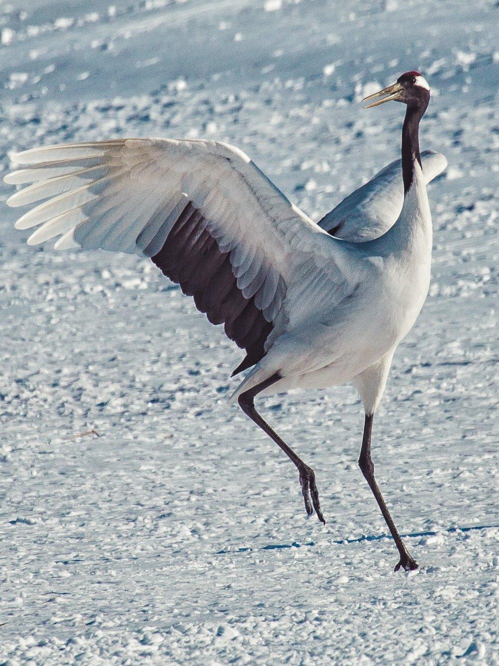 Red Crowned Crane Birds in Tsurui-Mura