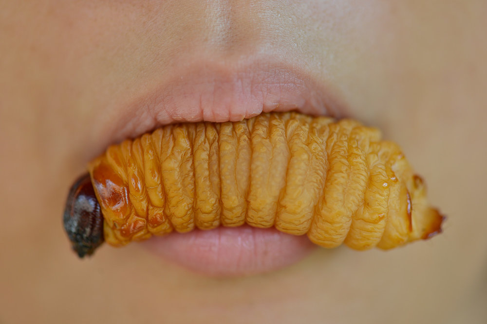 Palm Weevil Larva in Mouth