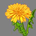 Dandelion image002