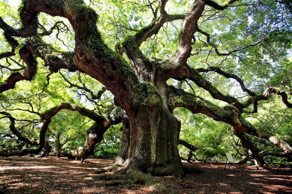 Our Helping Hands are like the branches of an oak tree...an Angel Oak! - GetSituated. GiveMore. HelpingHands.