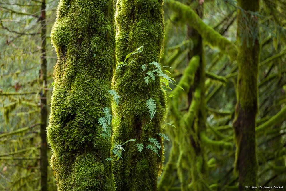 Mount Si Old Trail: Blankets of moss everywhere
