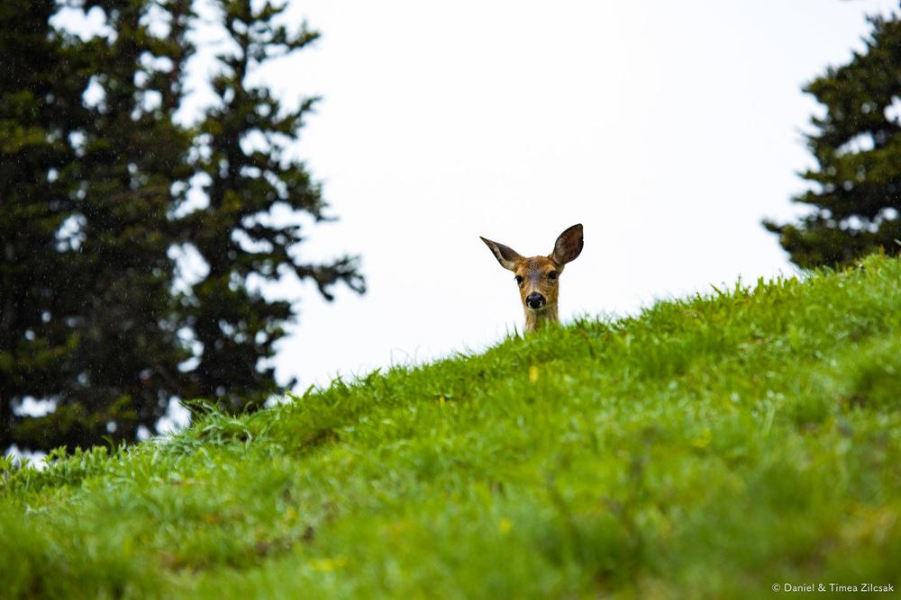 Deer on the Mount Angeles Trail, Hurricane Ridge, Olympic National Park- 9Z4A1312 © Zilcsak.jpg