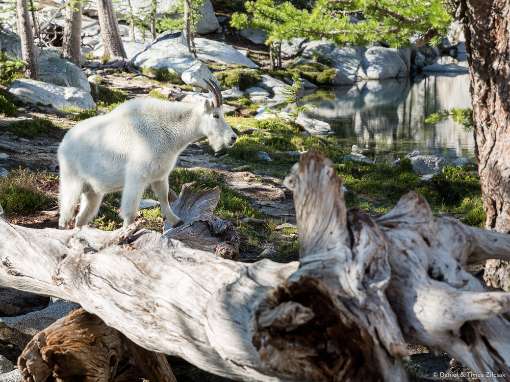 Another goat right outside our tent at Inspiration Lake, Enchantments- 9Z4A2975 © Zilcsak.jpg