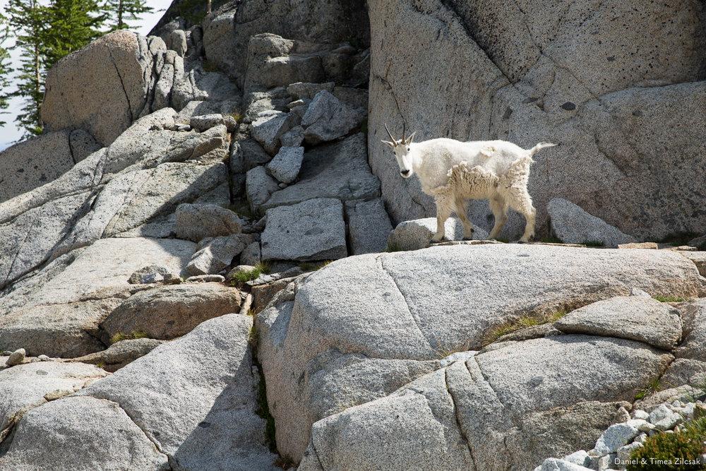 Goat changing coats, above Inspiration Lake, The Enchantments- 9Z4A3120 © Zilcsak.jpg