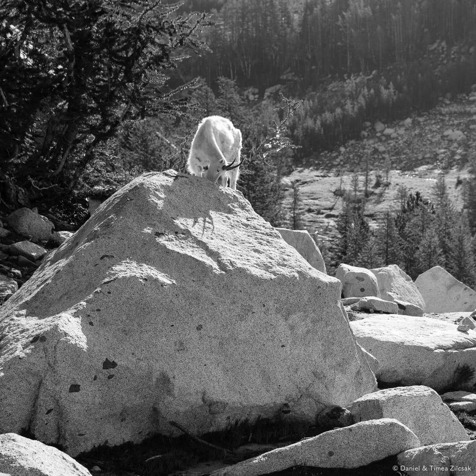 Goat licking a rock for salt in the enchantments- 9Z4A2969 © Zilcsak.jpg