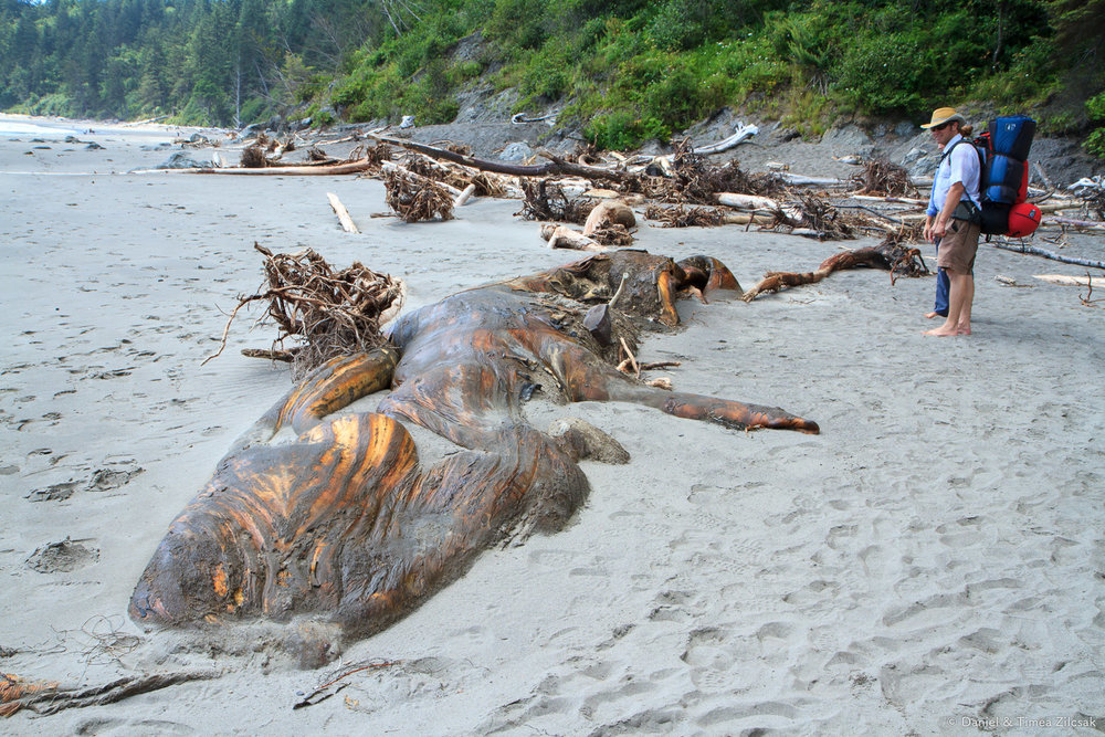 Beached whale at Strawberry Bay - Backpacking the South Coast Wilderness Trail, Olympic National Park