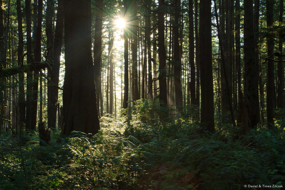 A dark forest with the sun setting along the South Coast Wilderness Trail, Olympic National Park