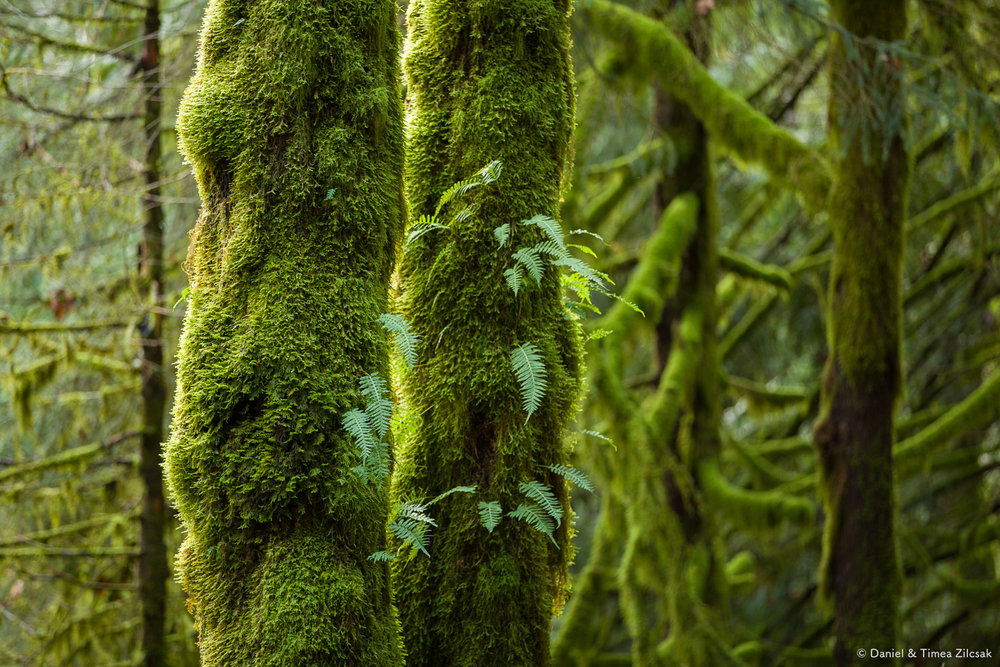 Abundant moss covering trees on the Mount Si trail near North Bend, WA