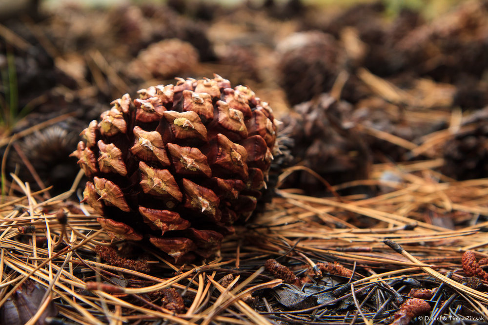 Ponderosa pine cone at Merced Lake Camp, Yosemite National Park
