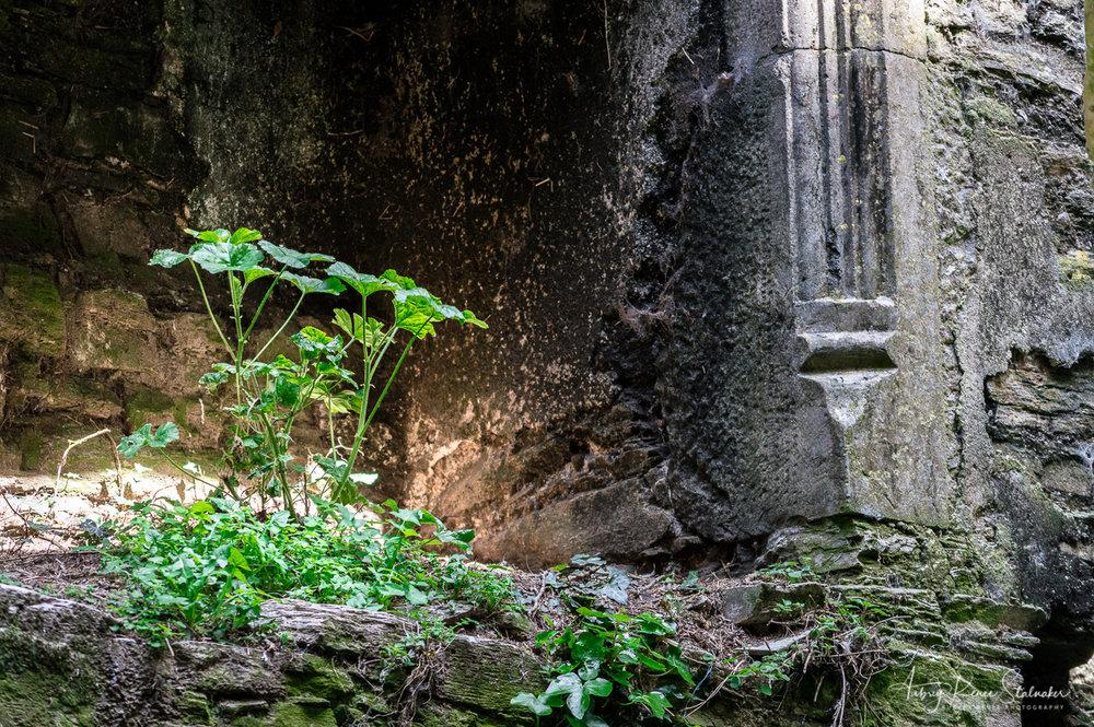 Clovers in Ightermurragh Castle near County Cork, Ireland