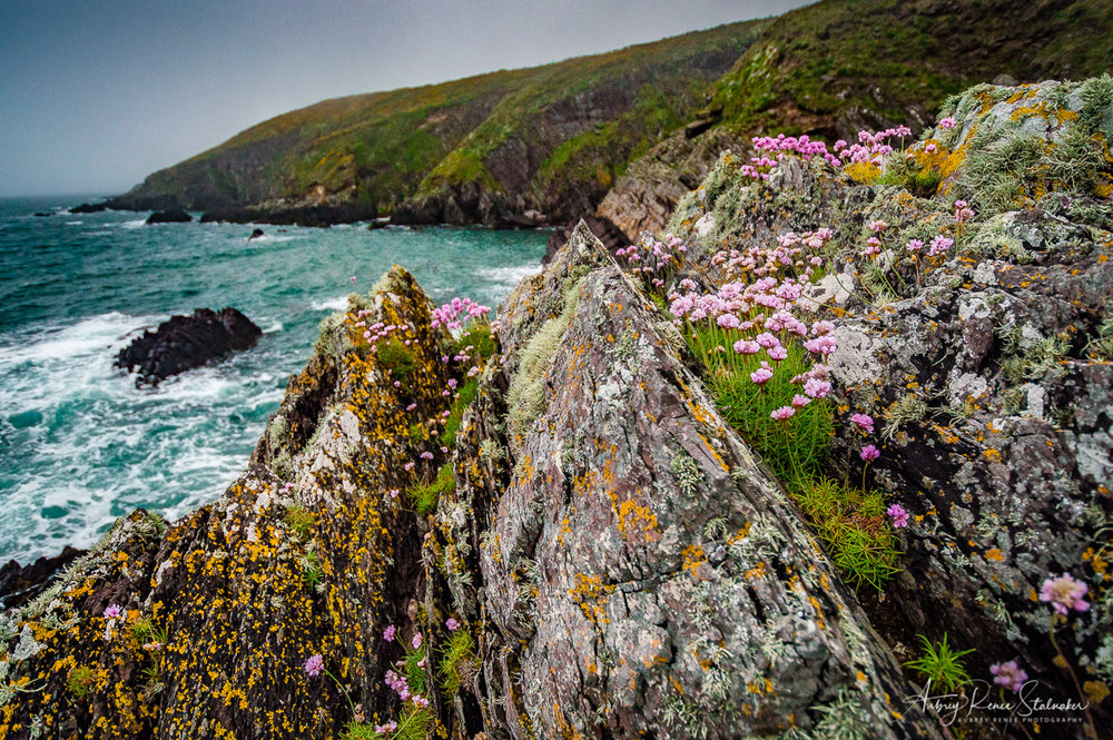 Flowers by the Sea Near the Ballycotton Cliffs in Ireland