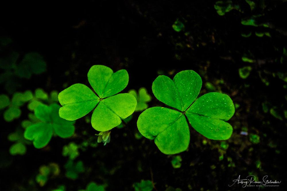 3 Leaf Clovers in Glenariff Forest Park, Northern Ireland