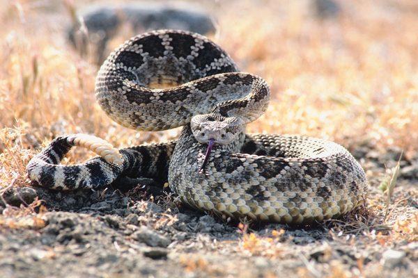 Texas Rattle Snake