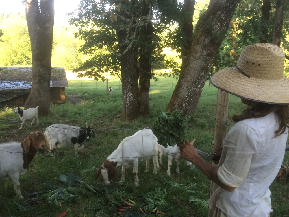 Feeding the Goats bring back bunched greens from the market