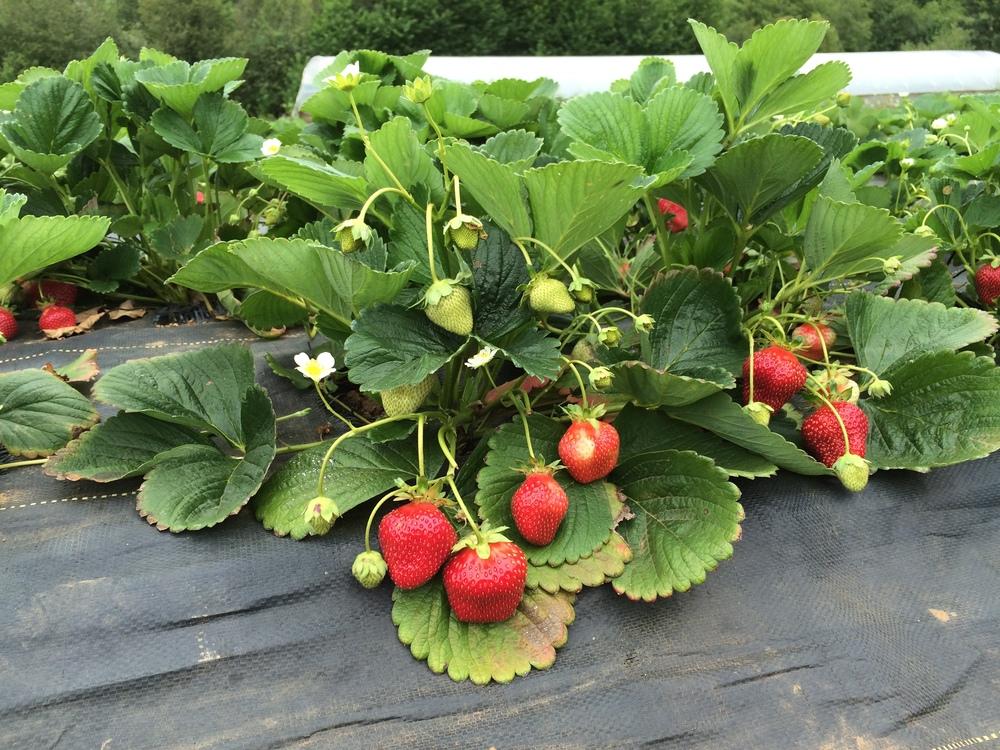 Strawberries continue producing HUGE berries!!!