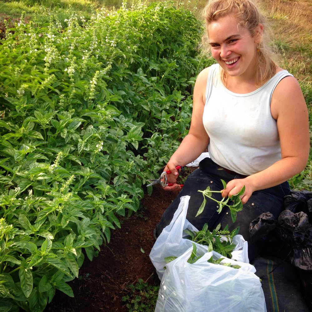 Lovely Miss Emma harvests some basil to take home after an afternoon helping on the farm