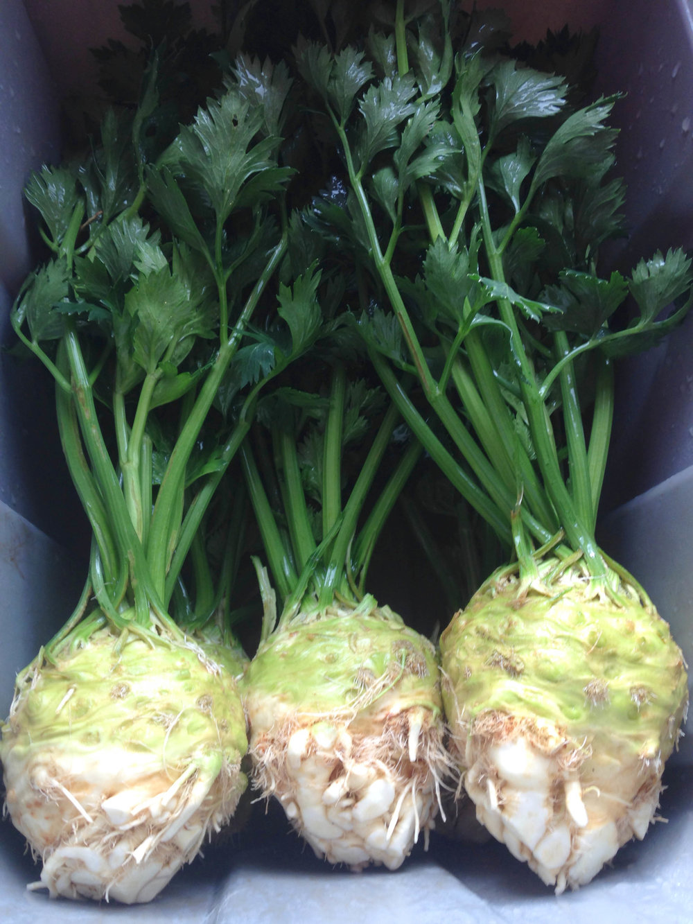 Celeriac washed and packed.